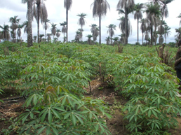 Cassava farm interspersed with palm-trees.